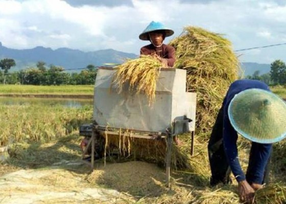 Nusabali.com - bali-panen-raya-padi-di-tengah-wabah-corona