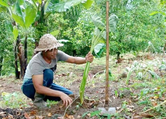 Nusabali.com - antisipasi-krisis-pangan-warga-kutuh-tanam-ubi