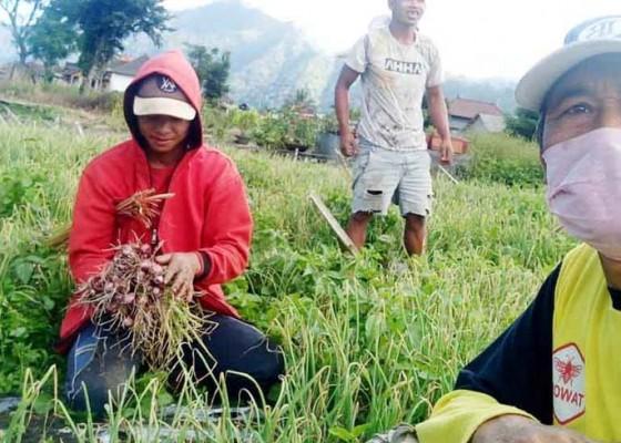 Nusabali.com - bisnis-kopi-sakit-petani-beralih-ke-sayuran