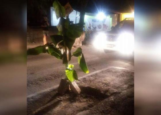 Nusabali.com - warga-canggu-tanam-pisang-di-jalan