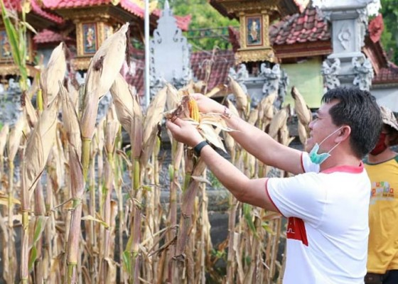 Nusabali.com - pertanian-di-nusa-penida-masih-hidup