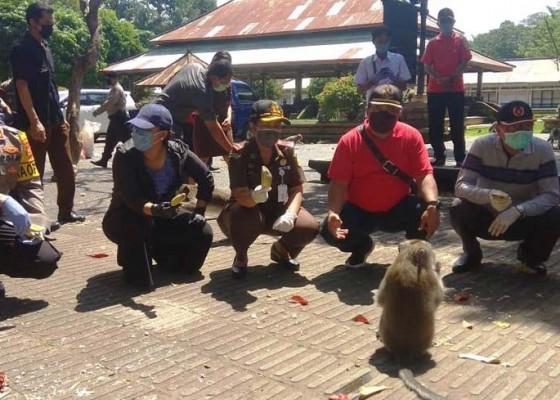 Nusabali.com - bupati-eka-bantu-600-kilogram-pakan-monyet-di-alas-kedaton