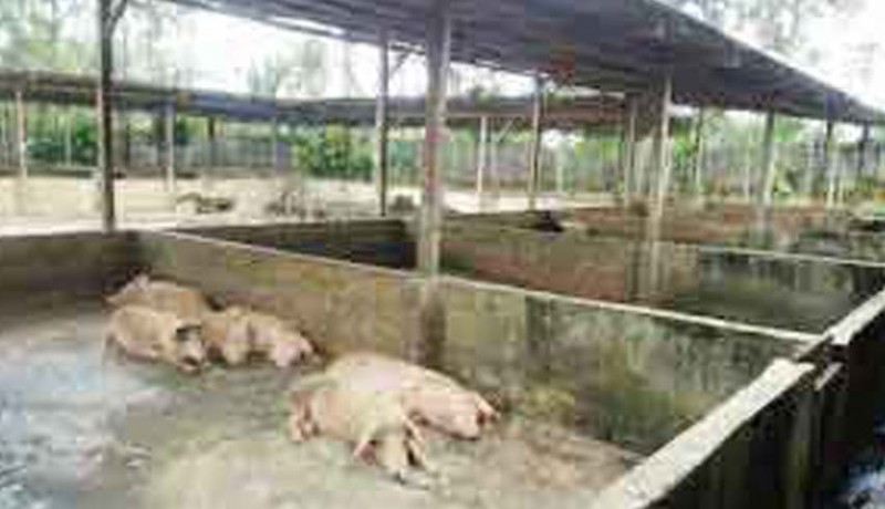 www.nusabali.com-lima-bulan-3510-babi-mati-mendadak