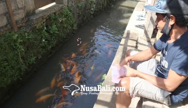 www.nusabali.com-warga-desa-mas-pelihara-koi-di-kali