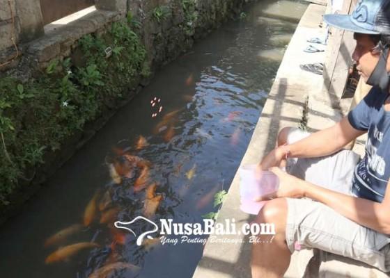 Nusabali.com - warga-desa-mas-pelihara-koi-di-kali
