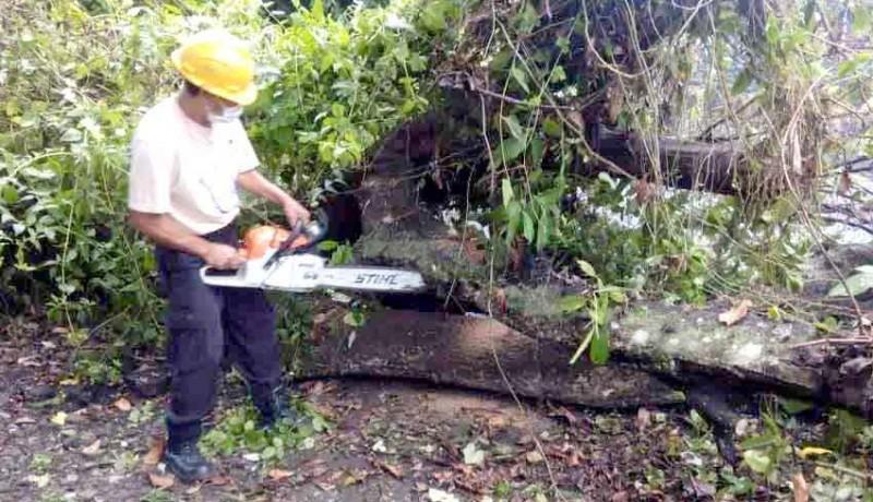 www.nusabali.com-bpbd-evakuasi-pohon-tumbang
