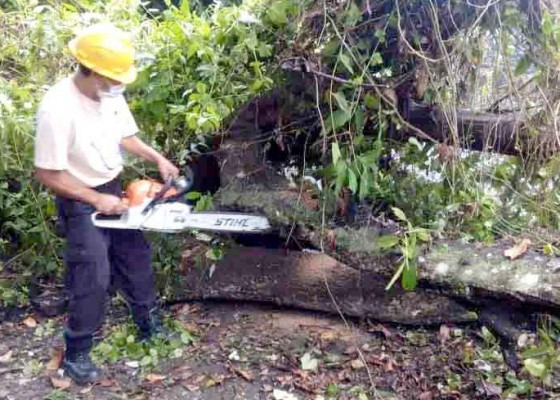 Nusabali.com - bpbd-evakuasi-pohon-tumbang
