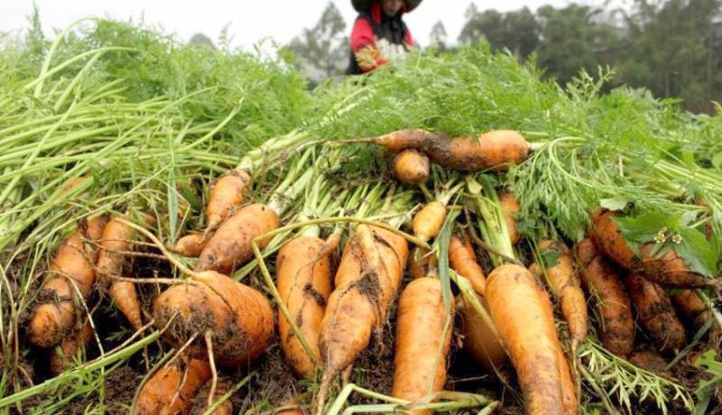 www.nusabali.com-sayuran-berlimpah-dan-bisa-diekspor