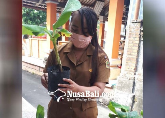 Nusabali.com - pandemi-covid-19-bumdes-petulu-beralih-jual-bibit-pisang
