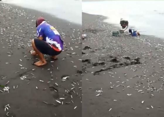 Nusabali.com - ribuan-ikan-anyar-kampih-di-pantai-kusamba
