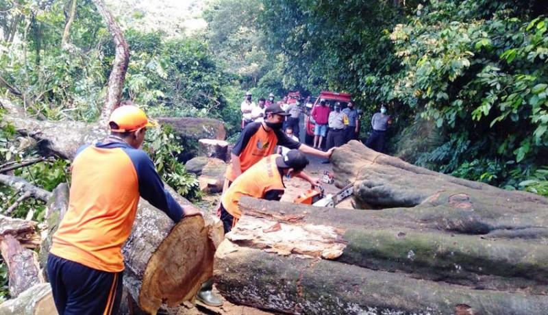 www.nusabali.com-pohon-usia-ratusan-tahun-tumbang-tutup-jalan