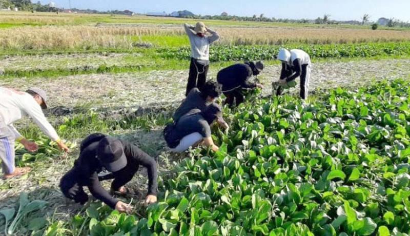 www.nusabali.com-petani-tabanan-panen-sawi-hijau