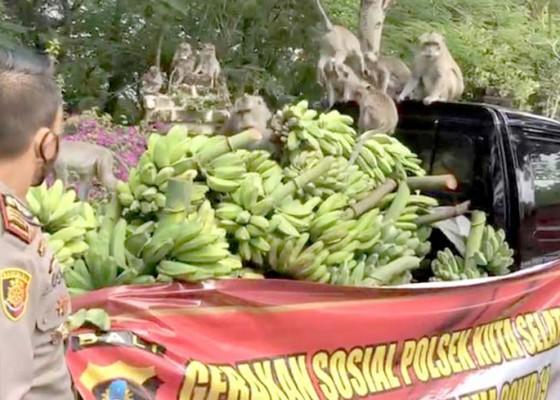 Nusabali.com - polsek-kutsel-sumbang-1-pick-up-pisang-untuk-monyet-di-pecatu
