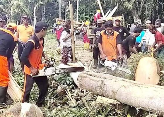 Nusabali.com - pohon-bunut-tumbang-timpa-tiga-motor