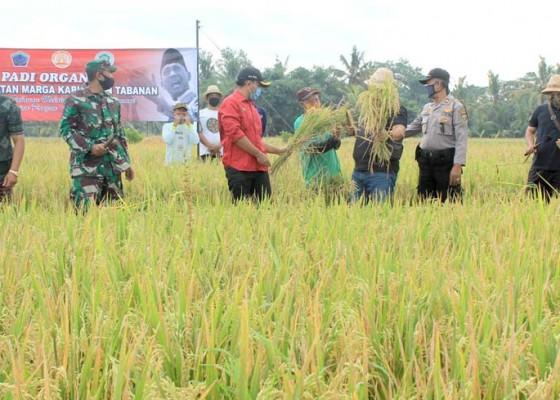 Nusabali.com - desa-kukuh-panen-60-ton-padi-organik