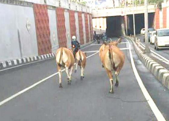 Nusabali.com - sapi-berkeliaran-di-underpass-dewa-ruci