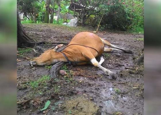 Nusabali.com - sapi-mangku-prajapati-mati-sander-krebek