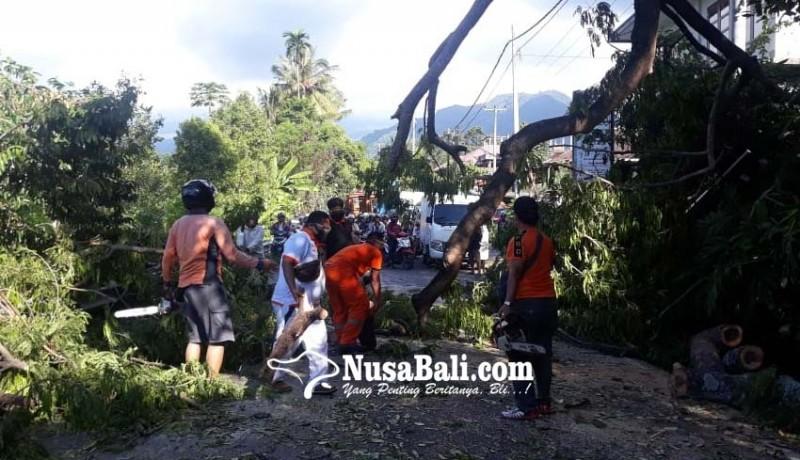 www.nusabali.com-pohon-lamtoro-tumbang-sempat-tutup-akses-singaraja-denpasar