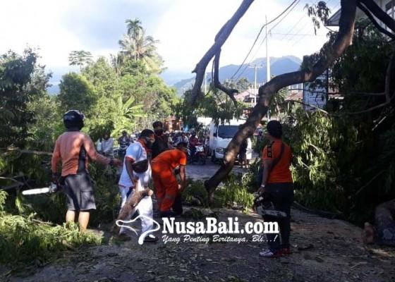 Nusabali.com - pohon-lamtoro-tumbang-sempat-tutup-akses-singaraja-denpasar