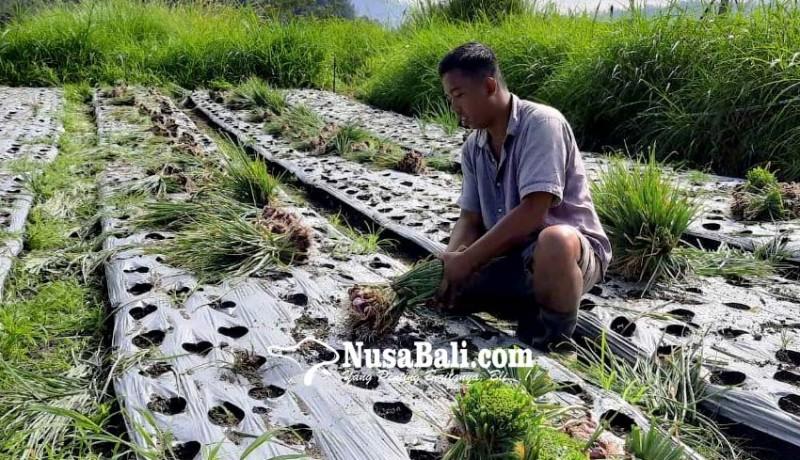 www.nusabali.com-80-pasar-produk-bisnis-pertanian-hilang