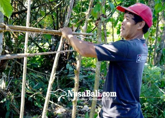 Nusabali.com - petani-salak
