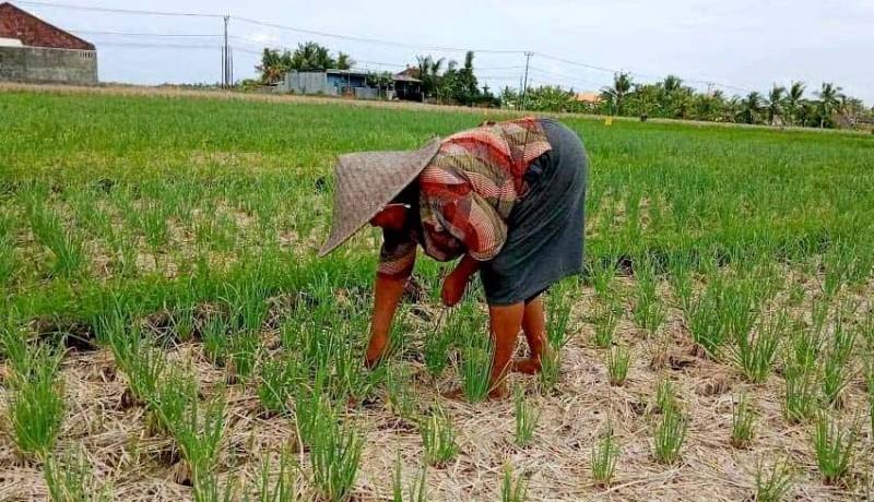www.nusabali.com-petani-subak-bengkel-kecamatan-kediri-panen-bawang-merah-bantuan-pusat