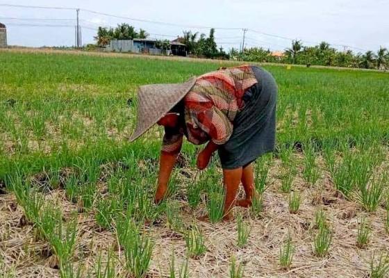 Nusabali.com - petani-subak-bengkel-kecamatan-kediri-panen-bawang-merah-bantuan-pusat