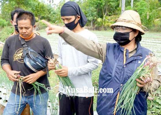 Nusabali.com - bupati-mas-sumatri-panen-bawang-di-lahan-gersang
