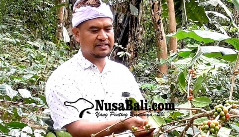 www.nusabali.com-150-hektare-hutan-kopi-wanagiri-siap-dipanen