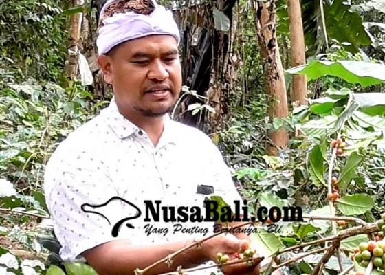 Nusabali.com - 150-hektare-hutan-kopi-wanagiri-siap-dipanen