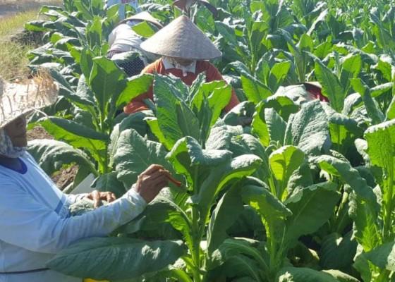 Nusabali.com - petani-tembakau-buleleng-tiarap-di-musim-pandemi