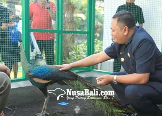 Nusabali.com - hidupkan-suasana-kantor-bupati-gianyar-pelihara-burung-merak