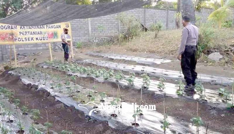 www.nusabali.com-polsek-kubu-tanam-hortikultura-di-lahan-gersang
