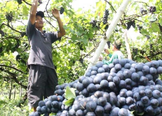 Nusabali.com - anggur-hitam-masih-jadi-unggulan-buleleng