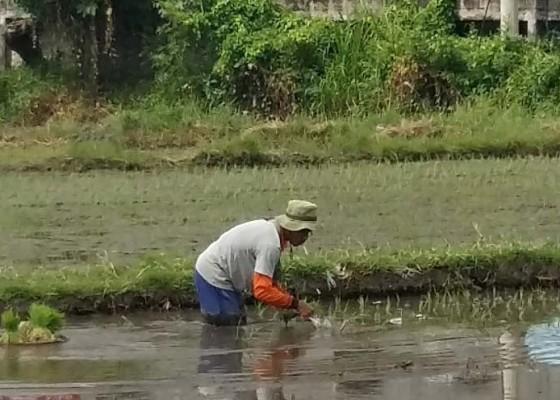 Nusabali.com - petani-buleleng-dapat-alokasi-bantuan-rp-2-miliar