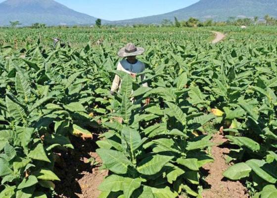 Nusabali.com - proses-ekstraksi-beri-nilai-tambah-tembakau