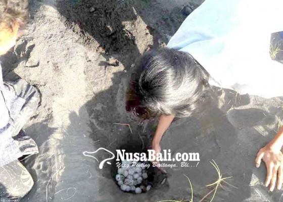 Nusabali.com - yowana-bhakti-segara-selamatkan-3246-telur-penyu