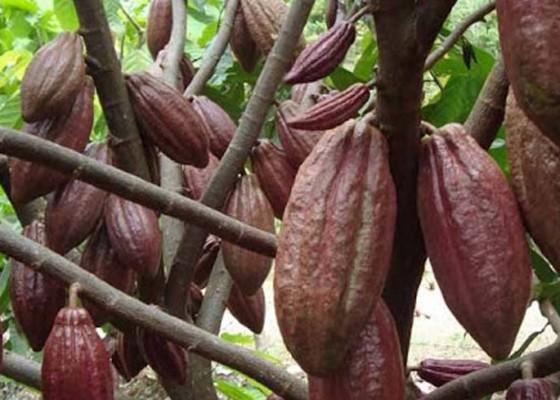 Nusabali.com - kakao-jembrana-dijadikan-komoditas-primadona