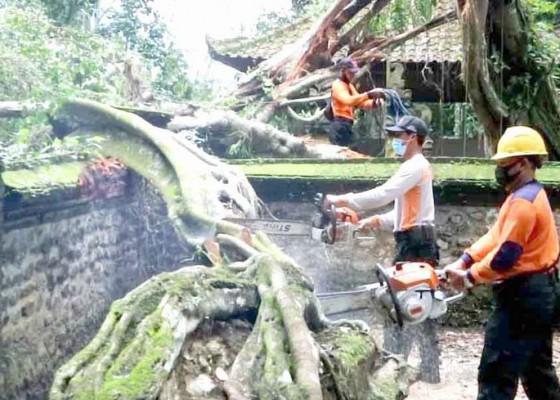 Nusabali.com - pohon-tumbang-timpa-palinggih-pura-subak