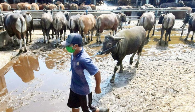 www.nusabali.com-sapi-bali-dinyatakan-bebas-penyakit
