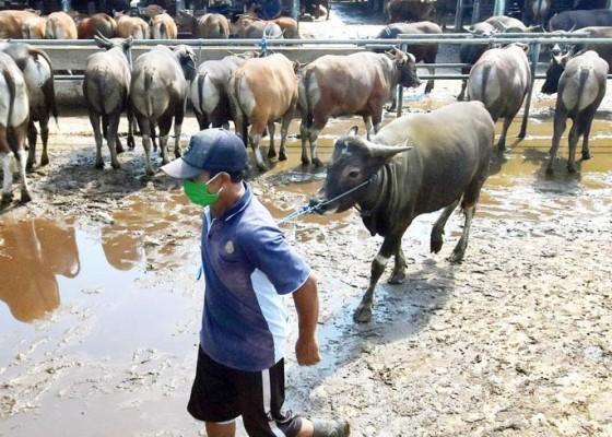 Nusabali.com - sapi-bali-dinyatakan-bebas-penyakit