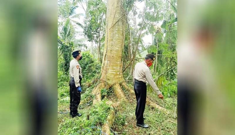 www.nusabali.com-tewas-setelah-terjatuh-dari-pohon-albesia-setinggi-20-meter