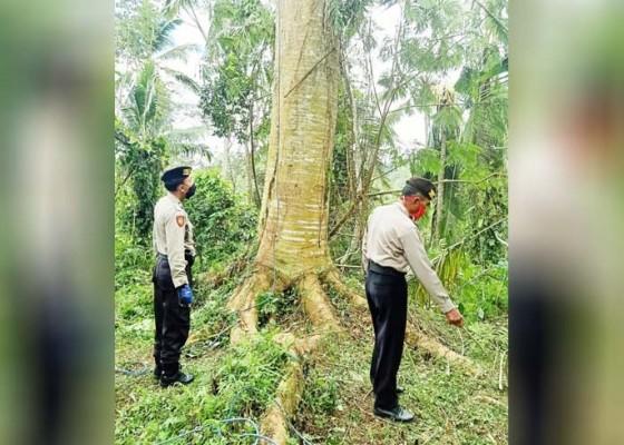 Nusabali.com - tewas-setelah-terjatuh-dari-pohon-albesia-setinggi-20-meter