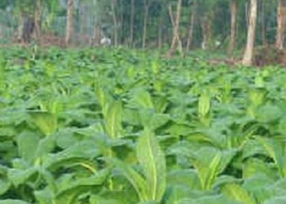 Nusabali.com - tembakau-diproses-hasilkan-wewangian