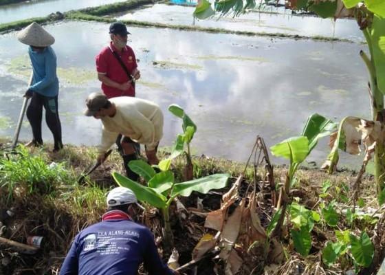 Nusabali.com - tikus-serang-527-hektare-tanaman-padi-di-tabanan