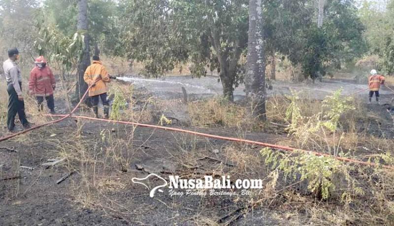 www.nusabali.com-25-pohon-mangga-terbakar