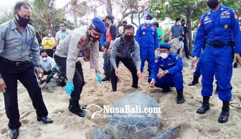 www.nusabali.com-25-ekor-penyu-sitaan-dilepas-di-pantai-kuta