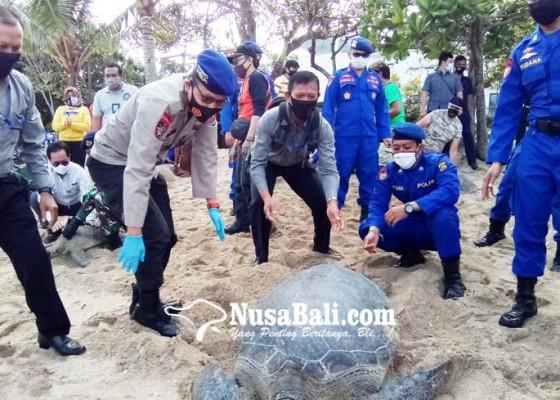 Nusabali.com - 25-ekor-penyu-sitaan-dilepas-di-pantai-kuta