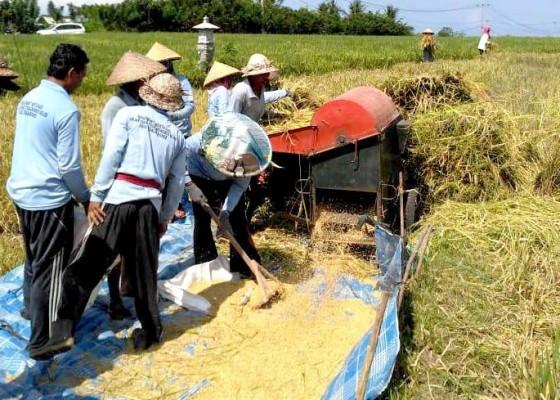 Nusabali.com - harga-gabah-di-tingkat-petani-di-tabanan-mulai-naik