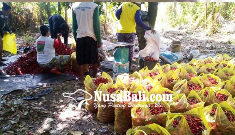 www.nusabali.com-petani-cabai-sambangan-masuki-masa-panen